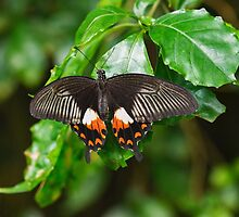 Common Mormon Butterfly by M.S. Photography/Art