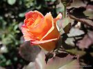 Rose Blossoming at the Break of Dawn by Barberelli