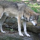 Grey wolf (Canis lupus)  by DutchLumix