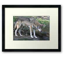 Grey wolf (Canis lupus)  Framed Print