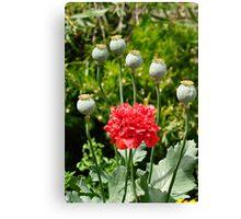 Opium Poppy in Flower Canvas Print