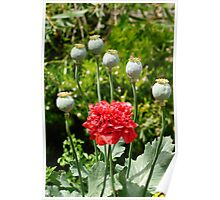 Opium Poppy in Flower Poster