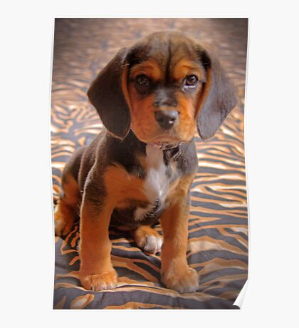 Gracie II - A Beagle cross King Charles Spaniel Poster
