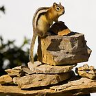 Gold Mantled Ground Squirrel  by NSQPhotography