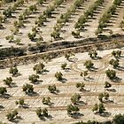 olive trees by nialloc