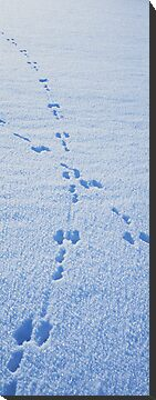 Crossing hare tracks by intensivelight