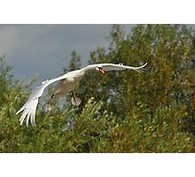 Swan in Flight - Coming into Land Photographic Print