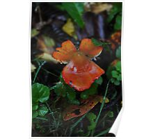 Red Chanterelle Cantharellus cinnabarinus  Poster