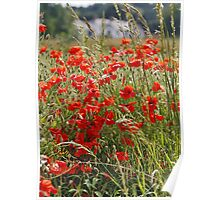 Poppy Field in North Wales Poster