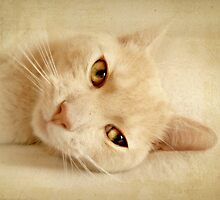 Felis silvestris catus by Yool
