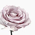 Dusty Rose by Jamie Lee