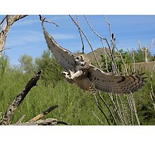 Great Horned Owl ~ 6 months old Photographic Print
