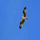 Osprey  by Kimberly Chadwick