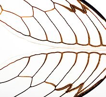 Cicada Wings by Steve Lovegrove