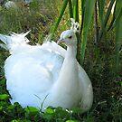 Indian Peafowl ~ Leucistic Male by Kimberly Chadwick