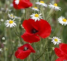Wild Poppies and Daisies by AnnDixon