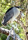 Black-crowned Night Heron ~ Adult by Kimberly Chadwick