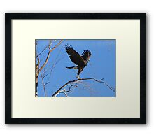 Harris's hawk ~ Success! Framed Print