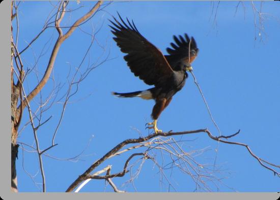 Harris's hawk ~ Success! by Kimberly Chadwick