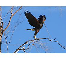 Harris's hawk ~ Success! Photographic Print