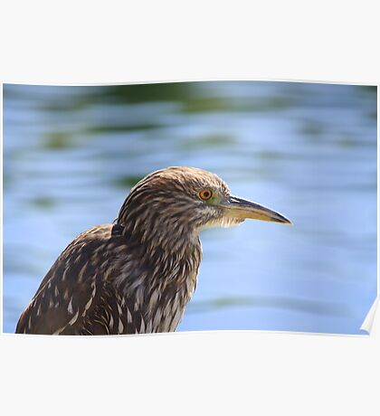 Juvenile Black-crowned Night Heron Poster