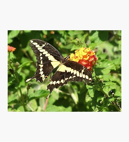Butterfly ~ Giant Swallowtail Photographic Print
