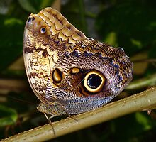 Owl Butterfly by Usha Ganesh