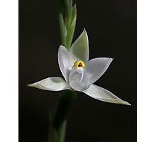 Scented Sun Orchid Photographic Print
