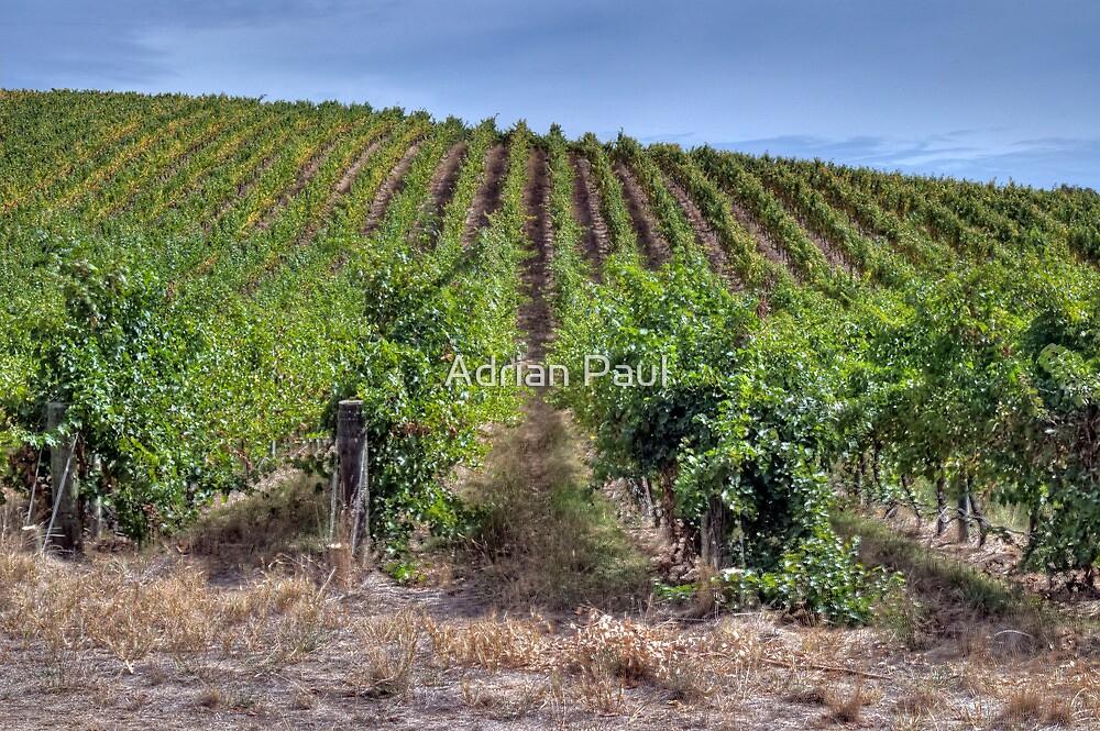 Adelaide Hills Vineyard, South Australia   by Adrian Paul