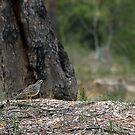 Spotted Quail Thrush by EnviroKey