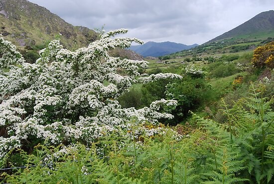 Whitethorn and Fern, Co.Kerry, Ireland by Pat O Callaghan