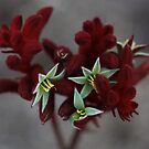 Red kangaroo paw by Anny Arden