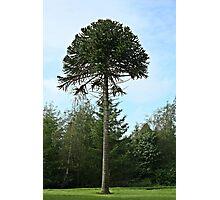 Lonesome Pine Photographic Print