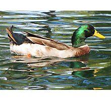 Mallard Duck ~ Drake Photographic Print