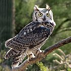 Great Horned Owl ~ Captive (6mos) by Kimberly P-Chadwick