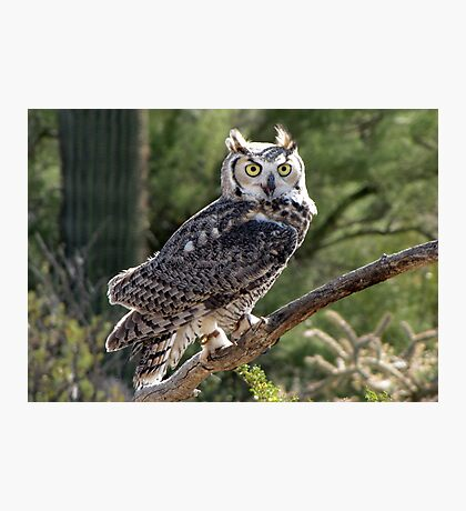 Great Horned Owl ~ Captive (6mos) Photographic Print