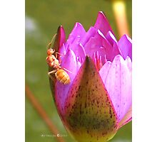 Insect in a waterlily - Singapore Botanic Garden Photographic Print