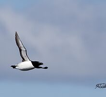 Razorbill in Flight by Todd Weeks