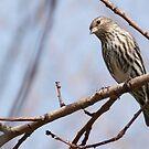 Vesper Sparrow - Pooecetes gramineus by Barb Miller
