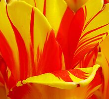 Flamed Tulip Petals by Usha Ganesh