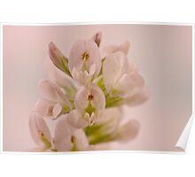 Milkvetch Wild Flower Macro Poster