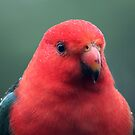 King Parrot Close Up with Raindrops by Jane McDougall