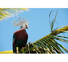 Victoria Crowned Pigeon, Papua New Guinea Photographic Print
