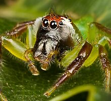 Male Green Jumping Spider by Jason Asher