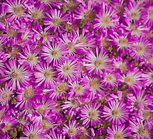 Pink Pigface flowers by ScottH