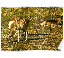 Looking On  - Fallow Deer Poster