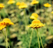 Push the little daisies and make them come up... by nickwho