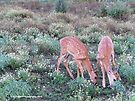 Two Baby Deer Grazing by Barberelli