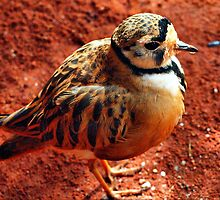Inland Dotterel by Clive