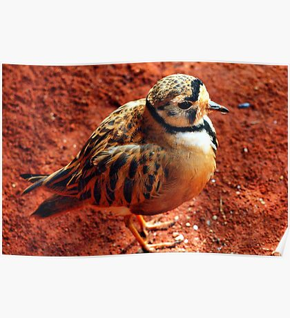 Inland Dotterel Poster